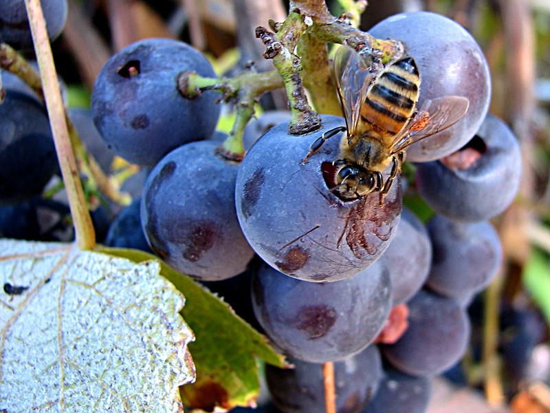 Investigadores de la UCA estudian cómo el polen puede ayudar a mejorar la fermentación alcohólica del vino