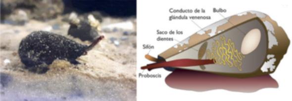 La secuenciación del genoma del cono del Mediterráneo ayuda a comprender la evolución de los venenos